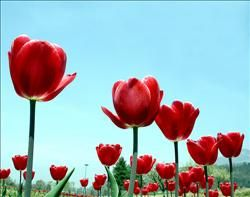 Tulip Gardens of Kashmir