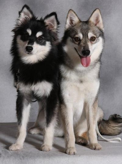 Alaskan Klee Kai Mini-Husky Sled dog | Alaskan Klee Kai ...