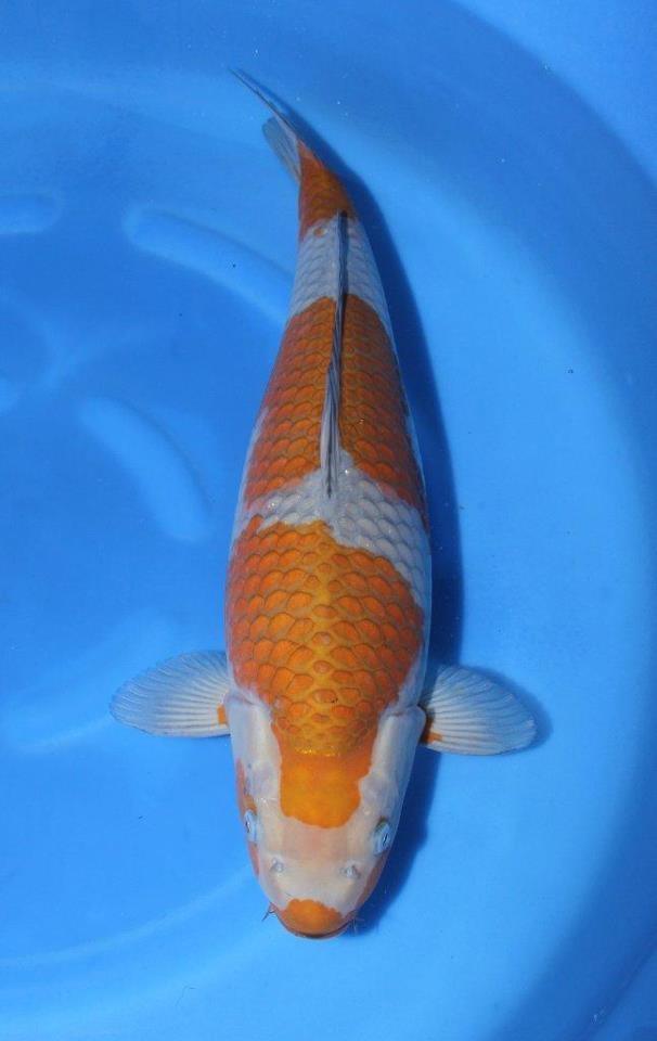 142 best images about koi fish on pinterest for Ochiba koi fish