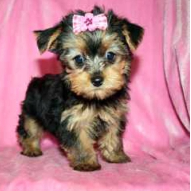 Baby Girl Teacup Yorkie | My future puppy :) | Pinterest ...