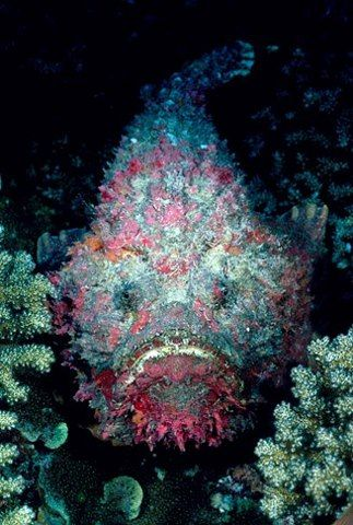 Reef Stonefish...has one of the most toxic venoms found in any fish.