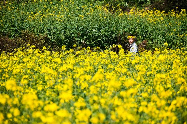 Canola Flower Fields, Luoping, Kunming, China
