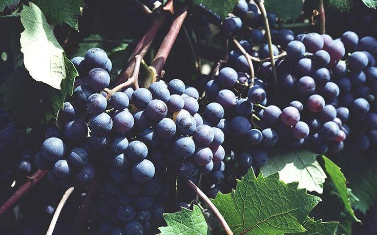 Growing grapes without fuss or toxic treatments.