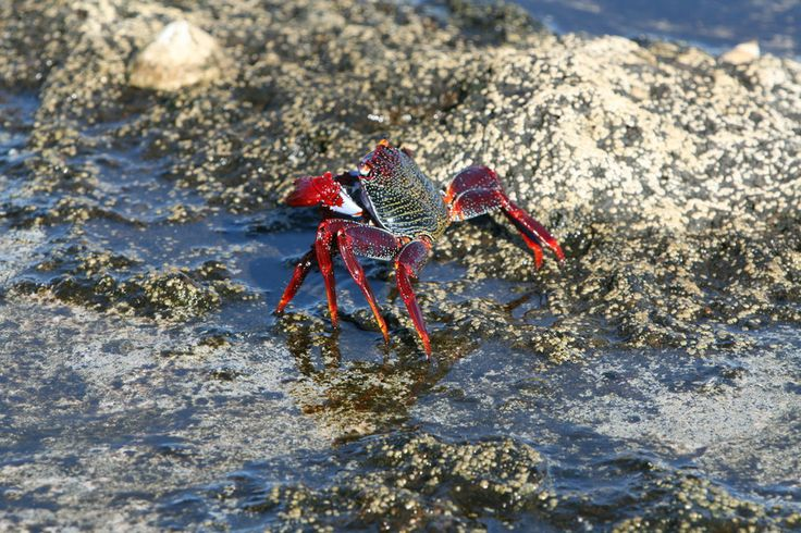 Selvagens crab by Pedro Quartin Graça on 500px
