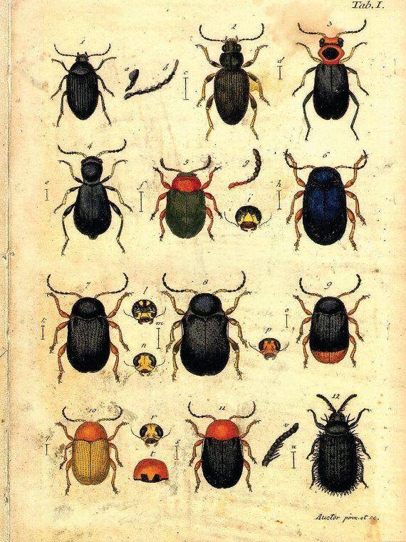 Beetles by curiousprints: Vintage Science Plate Poster. #Illustration #Beetles #Vintage