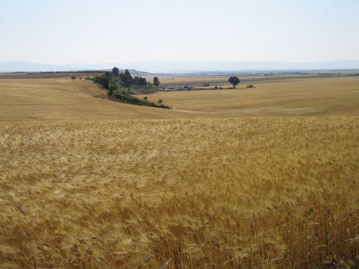 Wheat field in Puglia