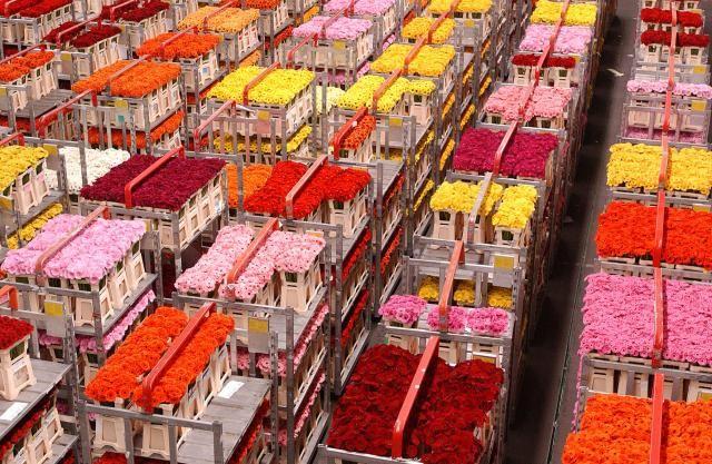 Většina řezaných květin, které se prodávají v Česku, jsou výpěstky afrických dělníků. Jsou pěstovány s hromadami chemie, aby přežily dlouhé cestování a skladování. Po přeletu do Holandska jsou pomocí květinové burzy rozprodány a rozvezeny po celé Evropě.  Po tisících kilometrů letu a dalších stovkách kilometrů projížďky v kamionech jsou prodávány v našich květinářstvích. Kde vzít zdravé kytky a jak oživit česká květinářství?