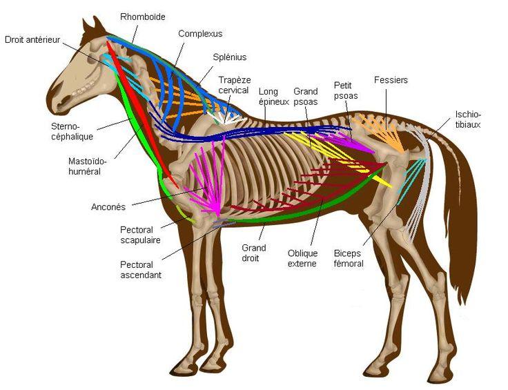 Fabuleux Les 25 meilleures idées de la catégorie Anatomie du cheval sur  XW84