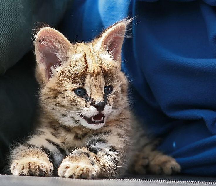 A beautiful serval kitten