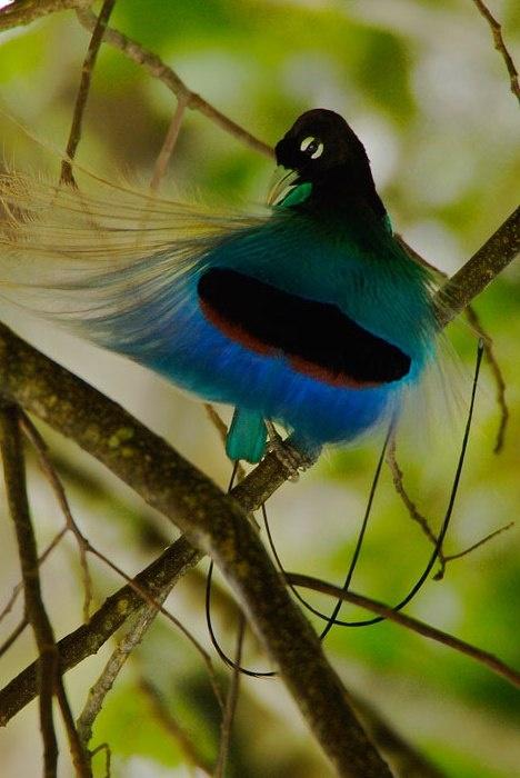 Cendrawasih / Paradise Bird6 ~ Visit Indonesia