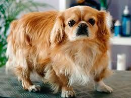 pekines pequines razas de perros pequeños