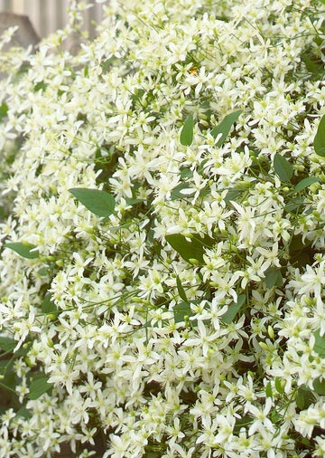 Sweet Autumn Clematis. Zones 4-9. Fast growing- up to 30 ft in a few months (tall and wide). Blooms late summer-early fall. Tolerates most soil and sun conditions.