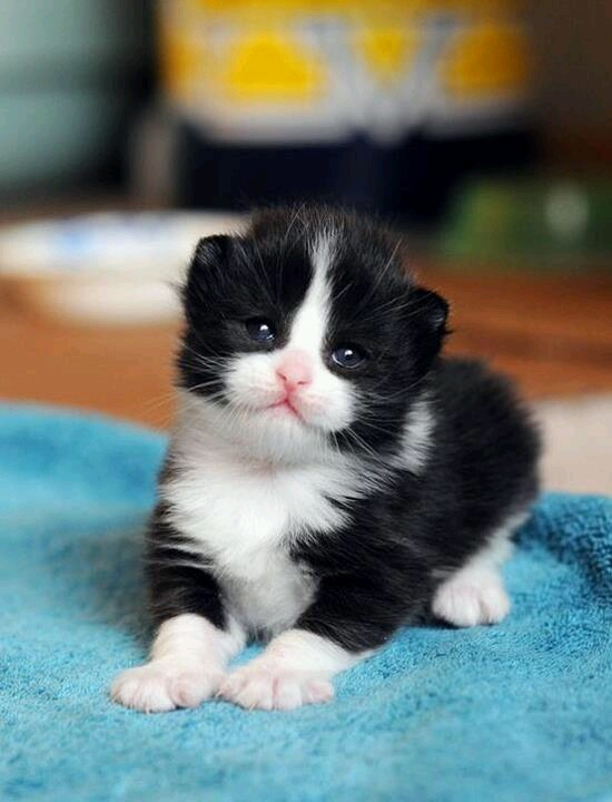 Sweet tuxedo kitten | Cats Are People Too | Pinterest