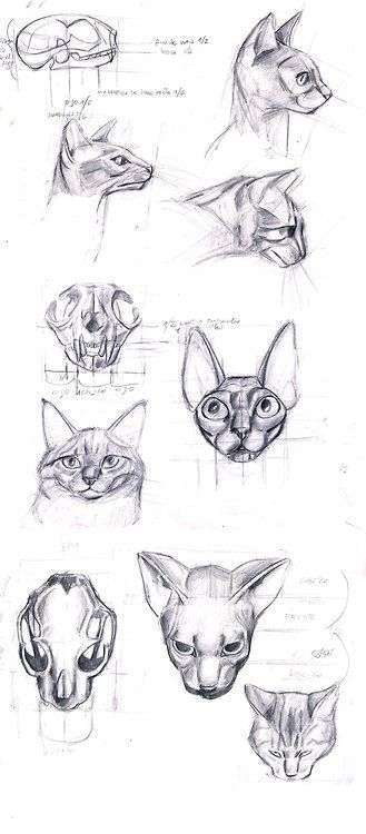Cat anatomy head
