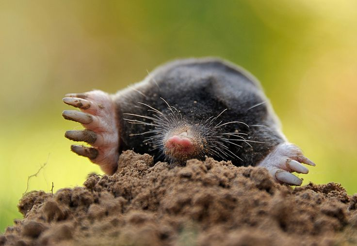 A mole emerged from the dirt in Godewaersvelde, France