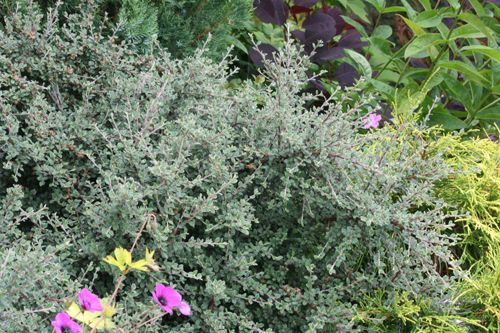 Gray-leaf cotoneaster (GPP) mounding shrub, evergreen, 3'-4' H x 6'-8' W, white flowers, full sun to light shade, tough, drought tolerant, good hedge or barrier