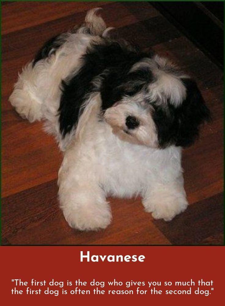 Havanese Intelligent And Funny Havaneser Pudel Tiere