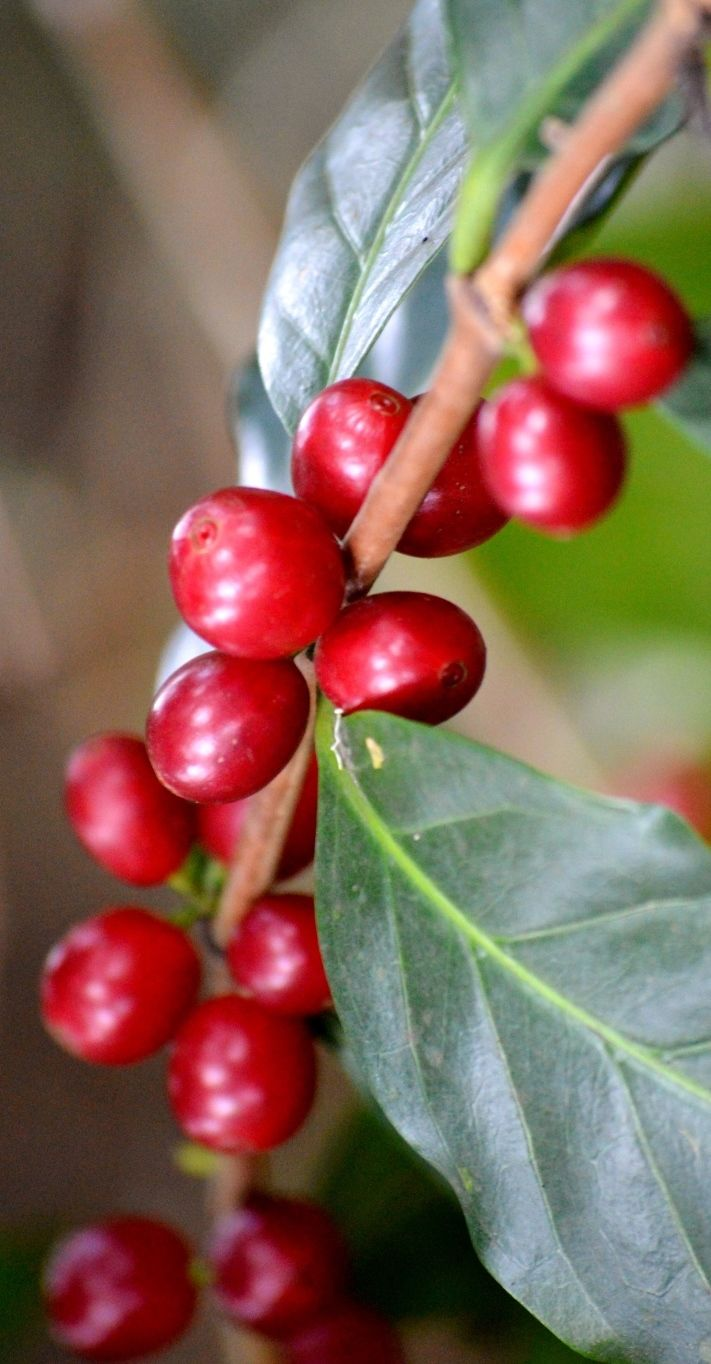 Ripe Coffee Berries in Costa Rica. More on the Cafe Britt Coffee Tour here: http://www.twoweeksincostarica.com/coffee-tour-cafe-britt/ #CostaRica