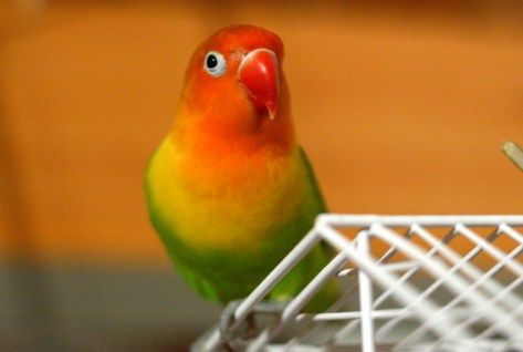 Tidak hanya populer sebagai unggas pengicau, Lovebird