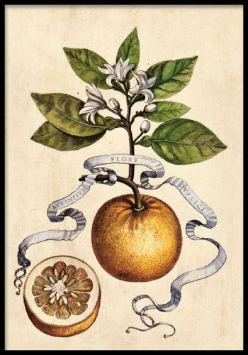 Plansch med illustration av apelsin och blad.