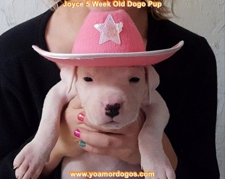 Litter of 9 Dogo Argentino puppies for sale in PINEVILLE, MO. ADN-62804 on PuppyFinder.com Gender: Female. Age: 6 Weeks Old
