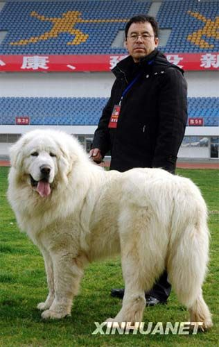White Tibetan Mastiff His face and coat are like Dumfries, except this white is even prettier, almost.
