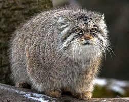 Výsledek obrázku pro raza de gatos de patas cortas
