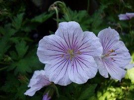 Geranium  himalayense `Derrick Cook` (ooievaarsbek)