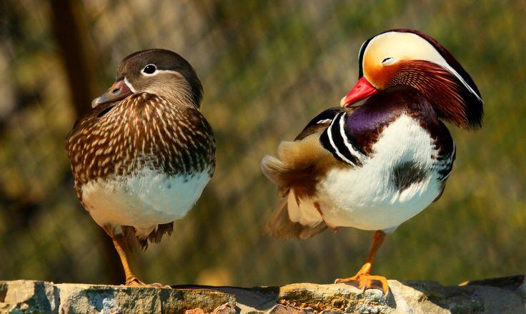 el pato mandarín con crias - Buscar con Google