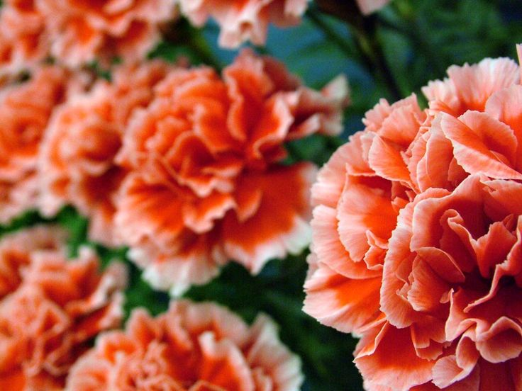 Carnations – January Birth Flower Symbol : Carnation Flower Picture 1