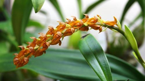 Asian~Eria Orchid
