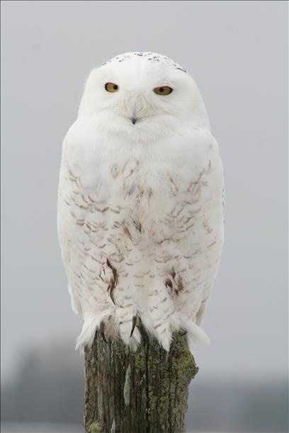 ~The Snowy Owl is the official bird of Quebec. In the summer they are brownish with dark spots and stripes, in the winter they turn completely white~