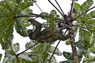 An Upside-down Life: The Three-toed Sloth | by Ian.Kate.Bruce's Wildlife