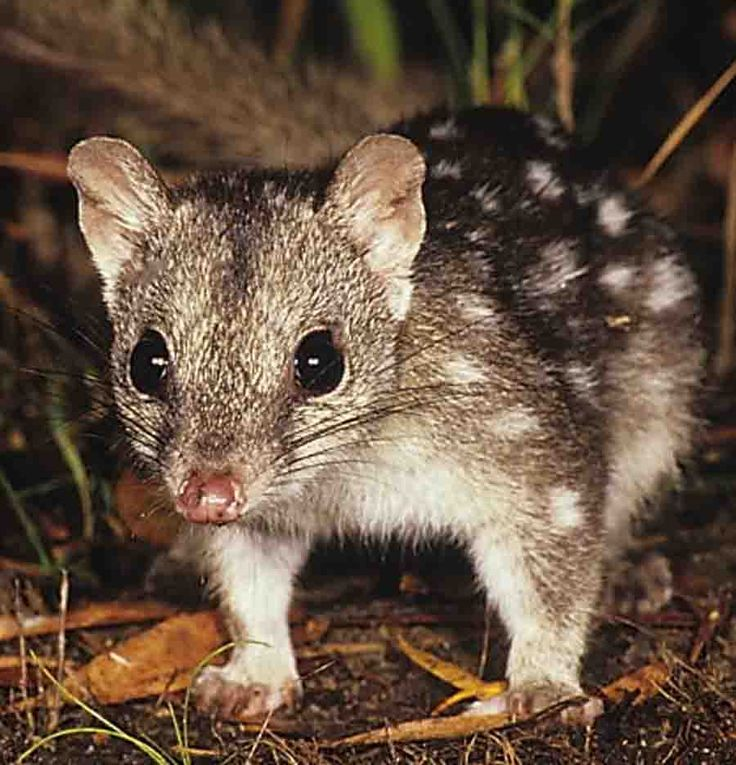 The Kimberley Australia, endangered Quoll,so sad, we need to share the planet!