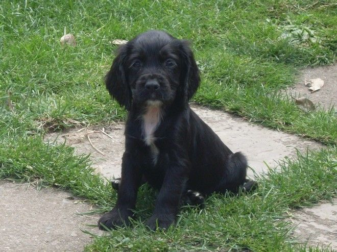 Adorable Sprocker Puppies For Sale | Torrington, Devon | Pets4Homes
