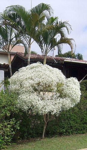 Neve da montanha (Euphorbia leucocephala)                                                                                                                                                     Mais
