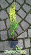 cyprys-lawsona-ivonne-35cm-doniczka-0-5l.jpg