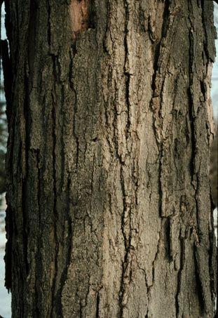 sugar maple identity
