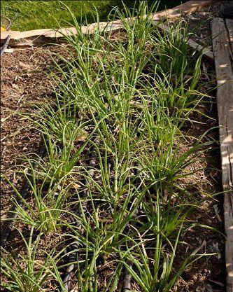 Never Let 'Em Set Seed - Garden - GRIT Magazine