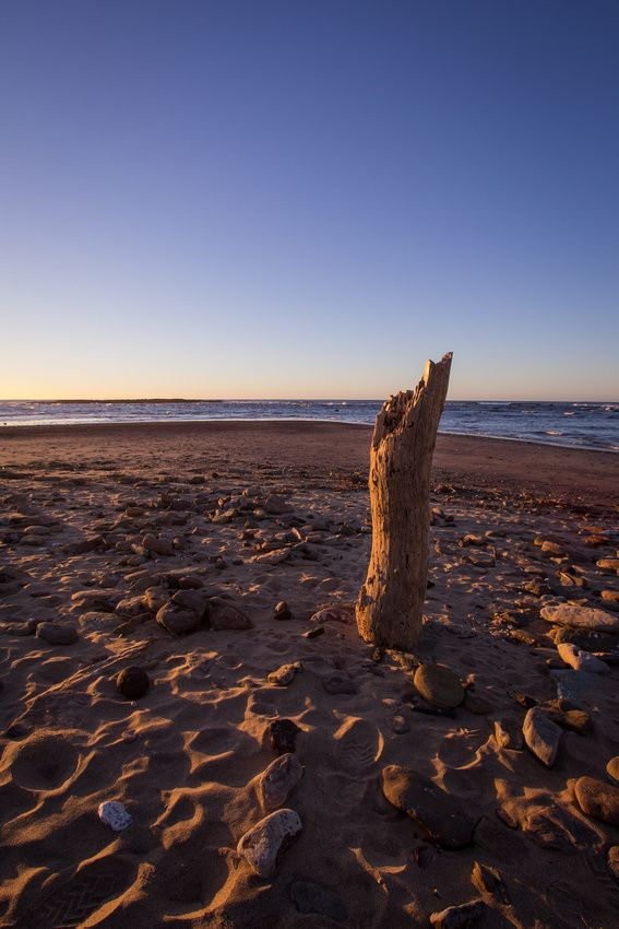 A Piece of driftwood stands tall in the early morning rays at Long Reef, NSW.