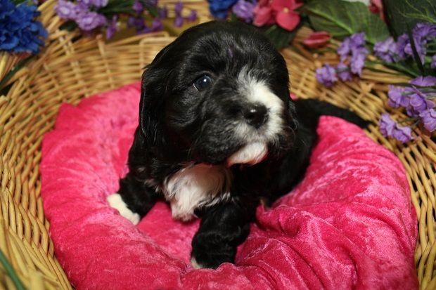 Litter of 6 Cavachon puppies for sale in COLVILLE, WA. ADN-63324 on PuppyFinder….   – Puppies for Sale