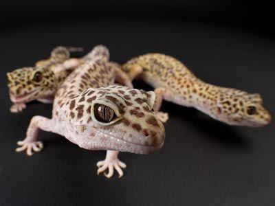 how to keep a gecko as a pet