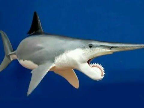 Helicoprión, el verdadero tiburón sierra