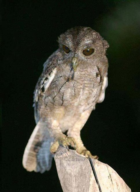 Balsas Screech Owl (Megascops seductus) by Christian Artuso