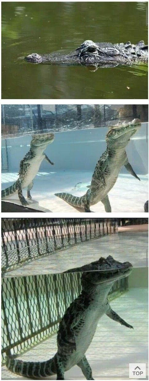 I thought crocodiles were swimming