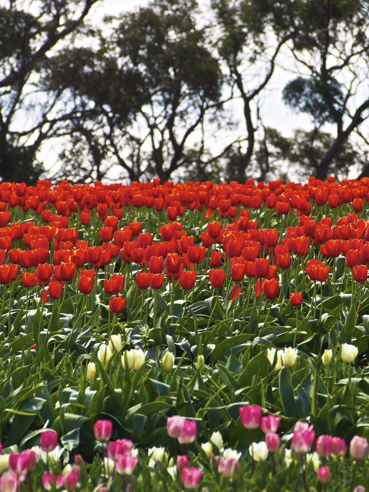 Tulip season; Table Cape; Tasmania