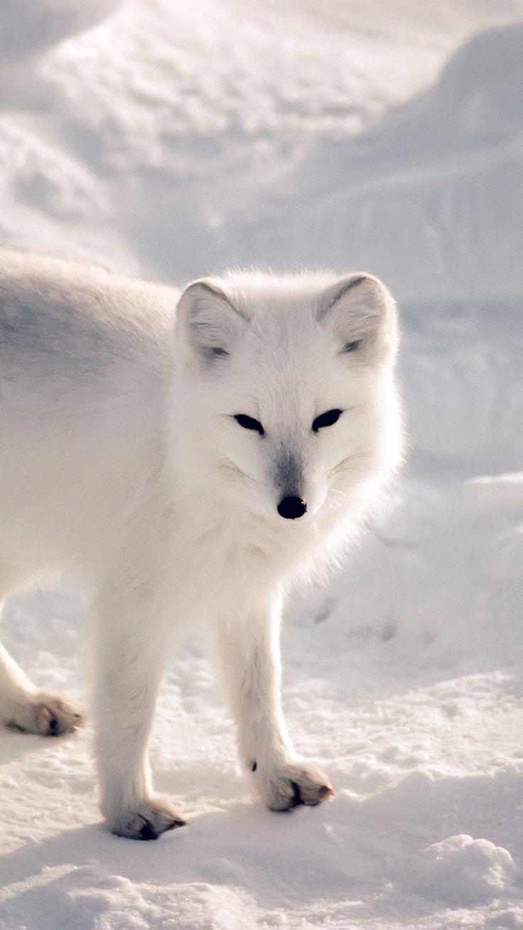 Zorro Blanco del Ártico