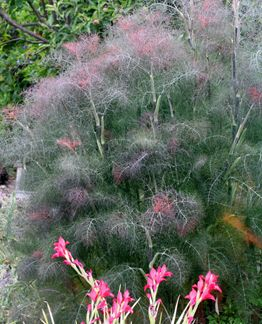 Bronze Fennel One Of My Favorite Plants Like A Bronzey Green Cloud In The Garden And Swallowtail Caterpillars Love It S Perenni