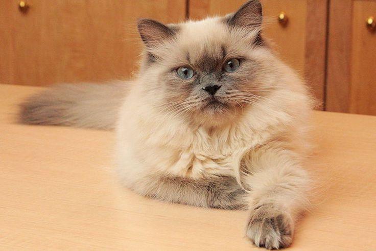 Gato himalayo | razas de gatos | Petdarling.com