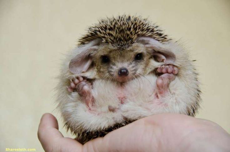 We've posted hedgehog pictures before but today we're going to focus on a particular type of hedgehog. Long Eared hedgehog are different to their close hedgehog cousins due to their huge ears, the ...